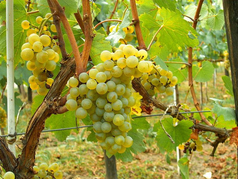 Chardonnay & Pinot Noir