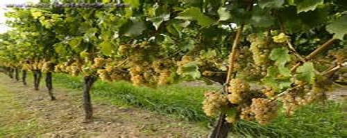 Remaining Grape Varieties